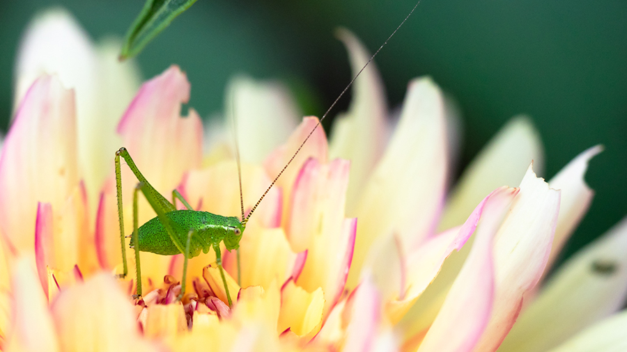 A small bright green grasshopper on a yellow flower with purple rimmed petals